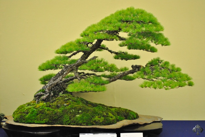 taikan-ten_bonsai_2011_20111228_1925767383.jpg