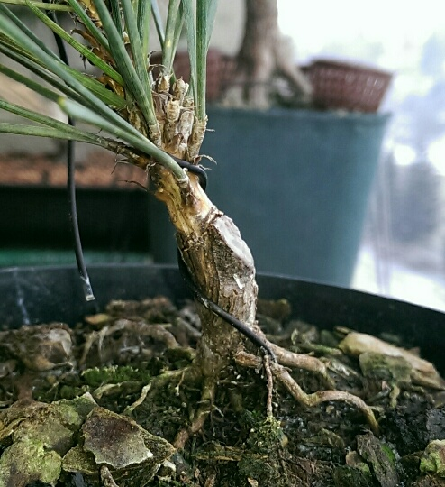 Corticosa ROOT GRAFTED.jpg